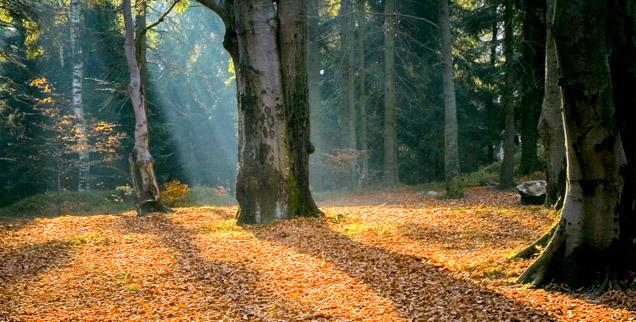 Stary jesienny las oświetlony smugami światła